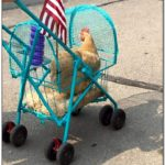 Homemade Chicken Stroller