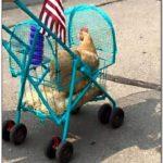 Wire Chicken Stroller