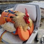 Chicken Life Jackets