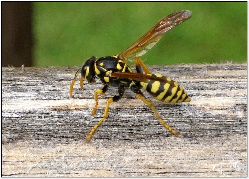 Do Yellow Jackets Sting Repeatedly