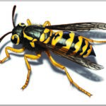 German Yellow Jacket Life Cycle