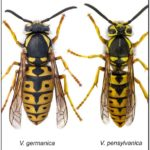 German Yellow Jacket Queen