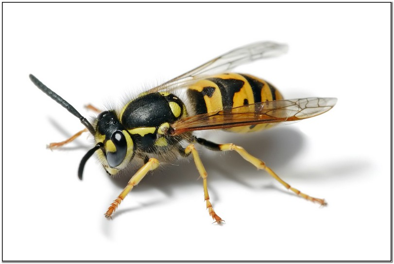 German Yellow Jacket Wasp