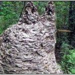 Giant Yellow Jacket Nest In Barn