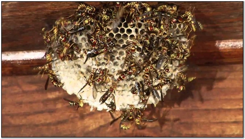 How To Get Rid Of Yellow Jacket Nest Under Deck