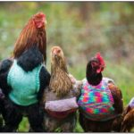 Knitted Chicken Jackets