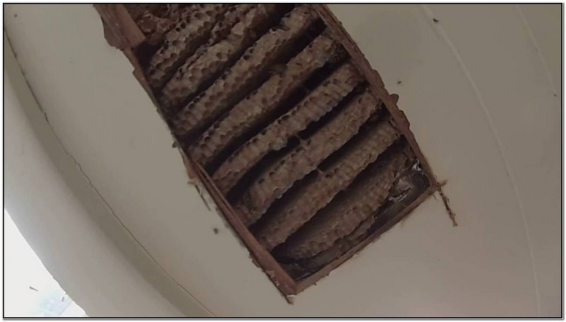 Yellow Jacket Nest In Wall Of House